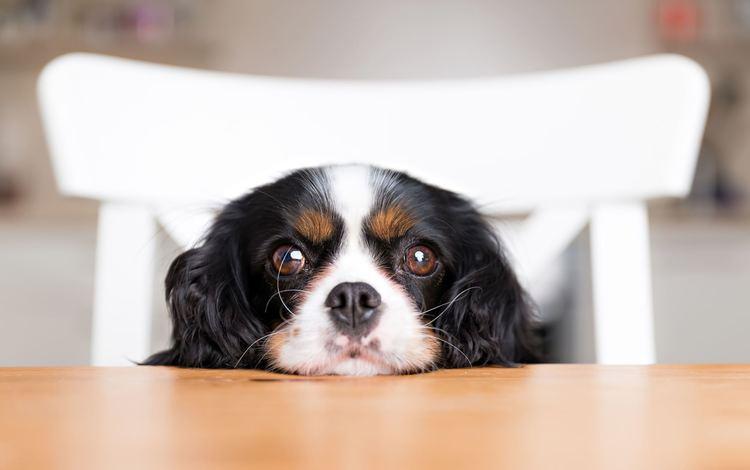 muzzle, look, dog, puppy, spaniel, cavalier-king-charles-spaniel
