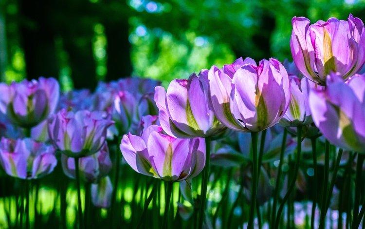 свет, клумба, цветы, сиреневые, зелень, бутоны, лепестки, весна, тюльпаны, стебли, light, flowerbed, flowers, lilac, greens, buds, petals, spring, tulips, stems