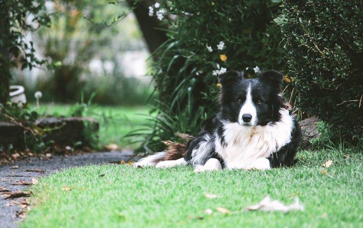 трава, собака, лежа, бордер-колли, grass, dog, lying, the border collie