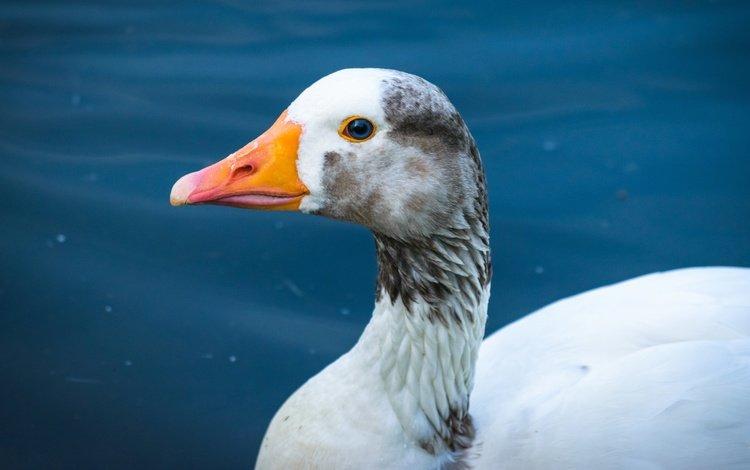 вода, фон, птица, гусь, water, background, bird, goose