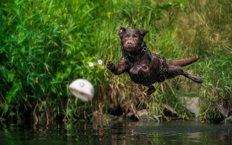 вода, собака, брызги, прыжок, мяч, лабрадор-ретривер, water, dog, squirt, jump, the ball, labrador retriever