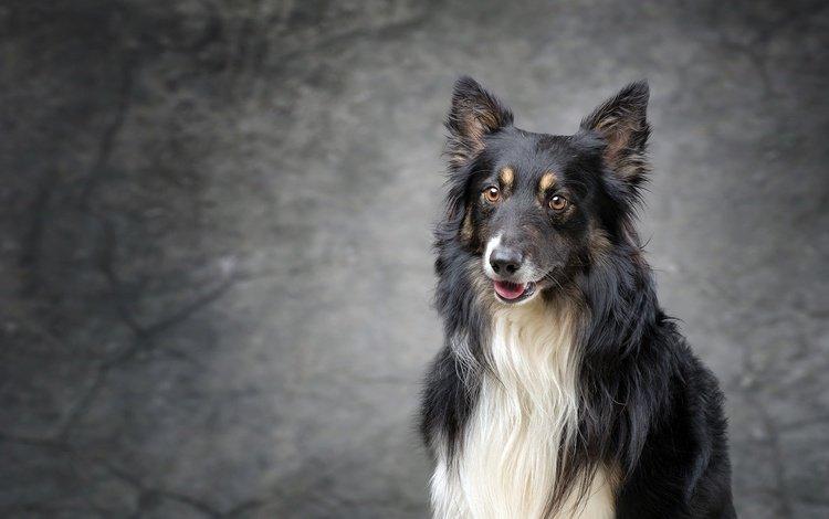 взгляд, собака, щенок, колли, шотландская овчарка, look, dog, puppy, collie, scottish shepherd