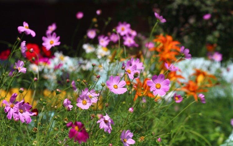 flowers, grass, greens, summer, kosmeya
