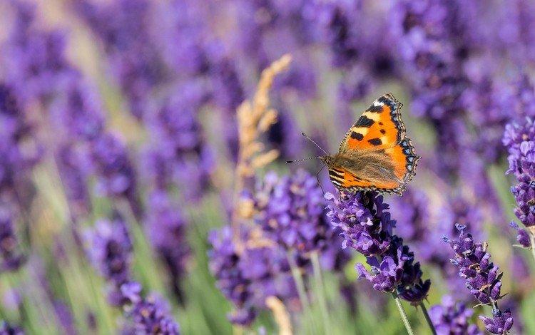 цветы, насекомое, лаванда, бабочка, крылья, flowers, insect, lavender, butterfly, wings