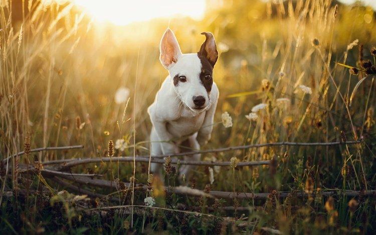 свет, щенок, трава, уши, мордочка, поле, ветки, лето, собака, прыжок, light, puppy, grass, ears, muzzle, field, branches, summer, dog, jump