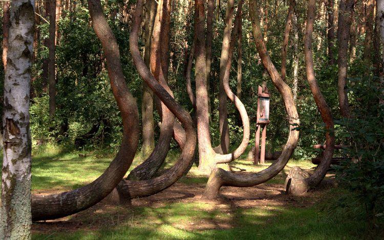 деревья, природа, парк, стволы, польша, растительность, krzywy las, trees, nature, park, trunks, poland, vegetation