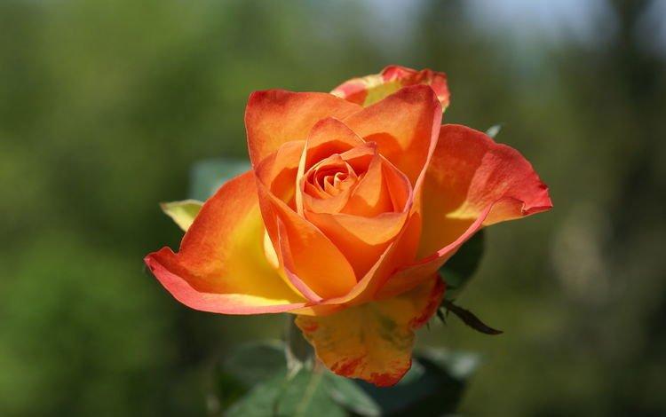 цветок, роза, лепестки, размытость, бутон, оранжевая, боке, flower, rose, petals, blur, bud, orange, bokeh
