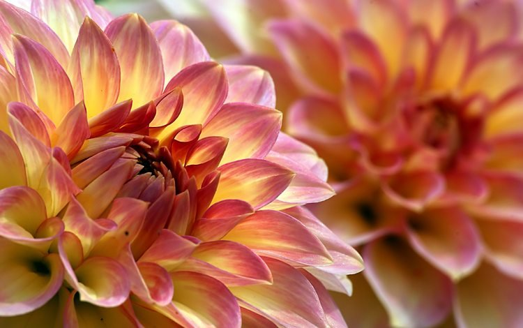 цветы, лепестки, макросъемка, георгин, крупным планом, георгины, flowers, petals, macro, dahlia, closeup, dahlias