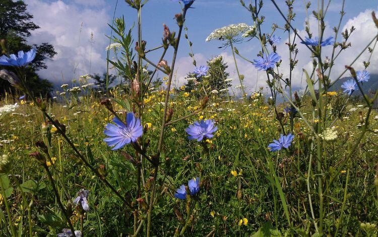 цветы, трава, природа, лето, поляна, полевые цветы, цикорий, flowers, grass, nature, summer, glade, wildflowers, chicory