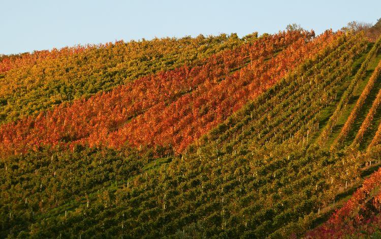 природа, осень, виноградник, nature, autumn, vineyard