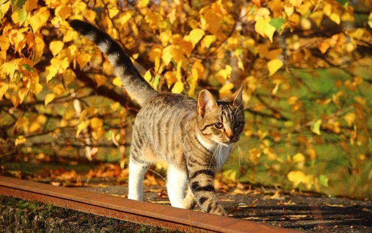 природа, листья, кот, листва, кошка, осень, котенок, nature, leaves, cat, foliage, autumn, kitty