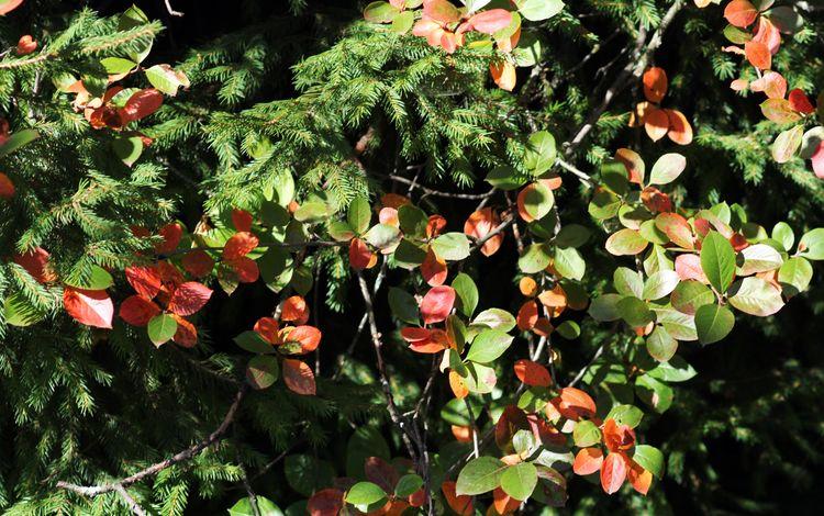 деревья, природа, листья, осень, ель, trees, nature, leaves, autumn, spruce