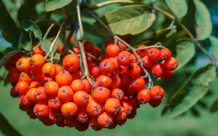 природа, листья, ягоды, растение, рябина, nature, leaves, berries, plant, rowan