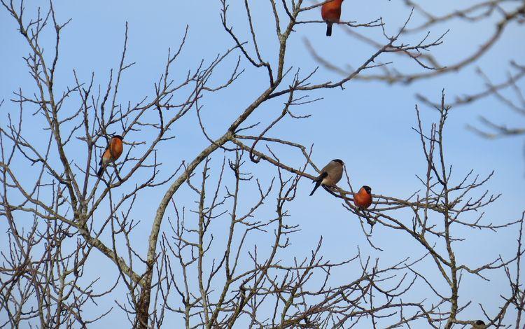 небо, дерево, ветки, птицы, снегирь, снегири, the sky, tree, branches, birds, bullfinch, bullfinches