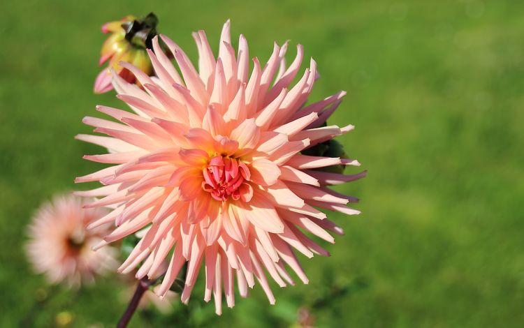 цветы, цветение, лепестки, розовые, георгины, flowers, flowering, petals, pink, dahlias
