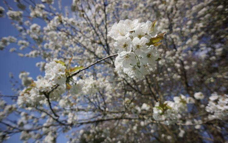 небо, вишня, цветы, крупным планом, природа, дерево, цветение, ветки, лепестки, весна, the sky, cherry, flowers, closeup, nature, tree, flowering, branches, petals, spring