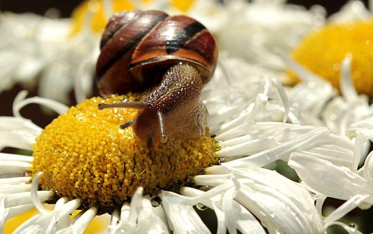 цветы, насекомое, лепестки, ромашки, белые, макросъемка, улитка, flowers, insect, petals, chamomile, white, macro, snail