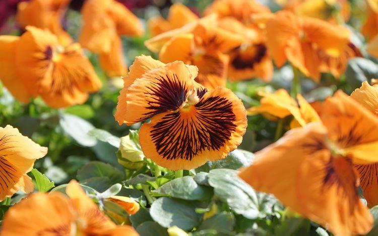 цветы, листья, лепестки, оранжевые, анютины глазки, виола, flowers, leaves, petals, orange, pansy, viola