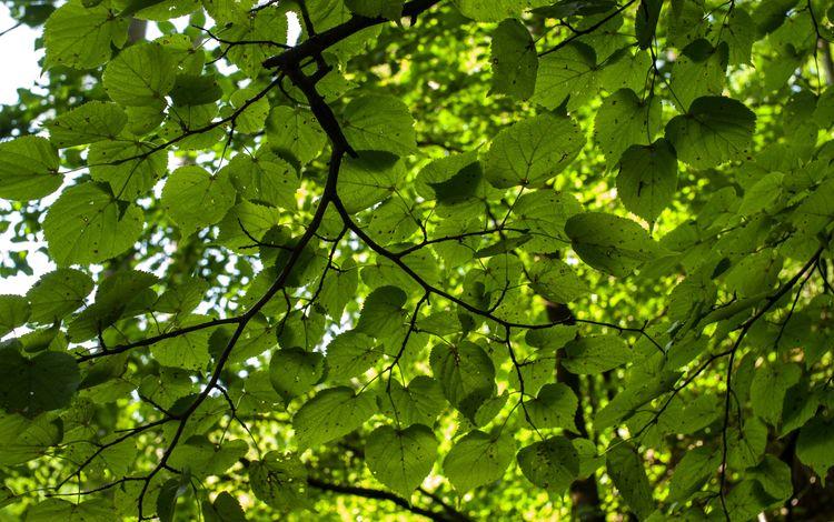 природа, дерево, зелень, листья, ветки, листва, nature, tree, greens, leaves, branches, foliage