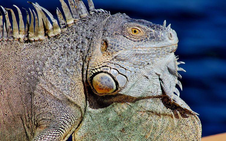 ящерица, профиль, животное, рептилия, игуана, крупным планом, lizard, profile, animal, reptile, iguana, closeup