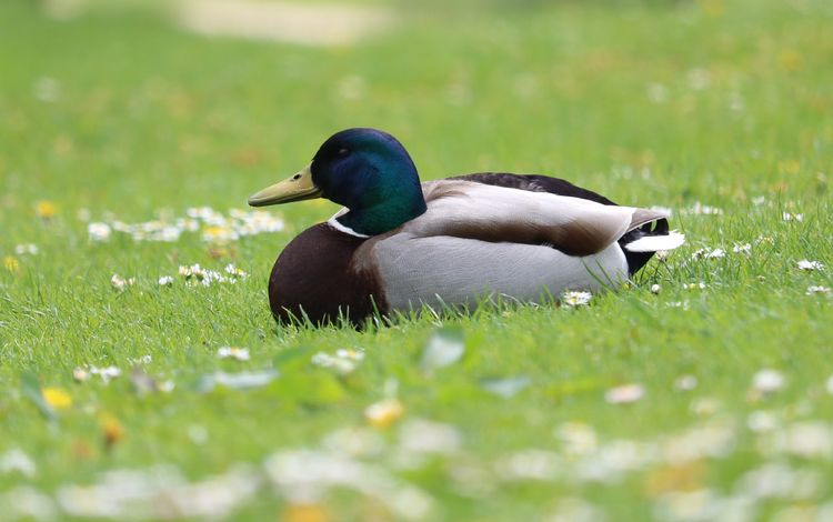 цветы, трава, природа, птица, утка, селезень, flowers, grass, nature, bird, duck, drake