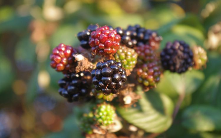 макро, ягоды, кустарник, ежевика, macro, berries, shrub, blackberry