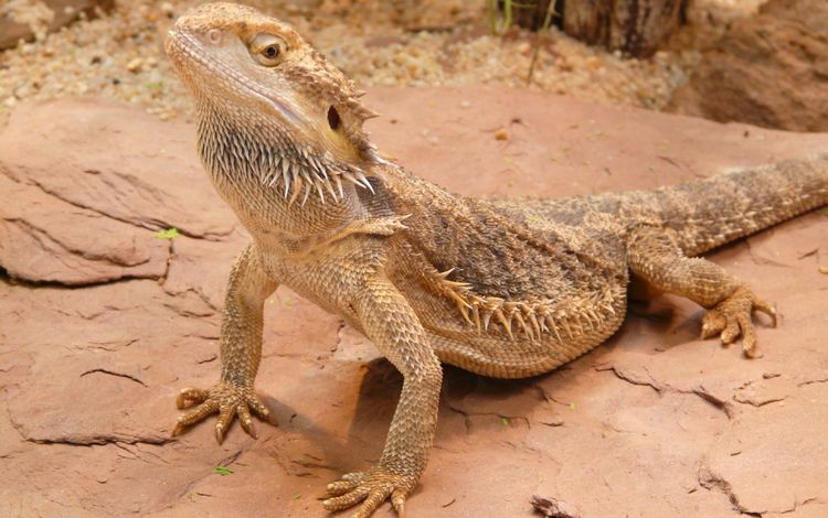 пустыня, ящерица, игуана, бородатая агама, пресмыкающееся, агама, desert, lizard, iguana, bearded agama, reptile, agama