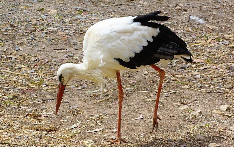 земля, птица, клюв, прогулка, перья, аист, earth, bird, beak, walk, feathers, stork