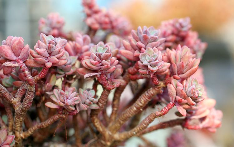цветы, розовые, растение, кактус, крупным планом, суккулент, суккуленты, flowers, pink, plant, cactus, closeup, succulent, succulents