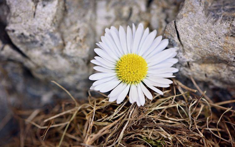 природа, цветок, лепестки, ромашка, камень, nature, flower, petals, daisy, stone