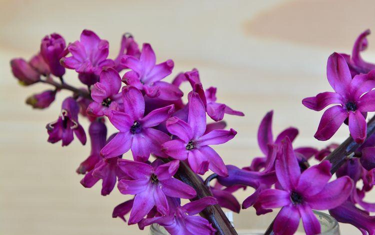 цветок, лепестки, весна, гиацинт, flower, petals, spring, hyacinth