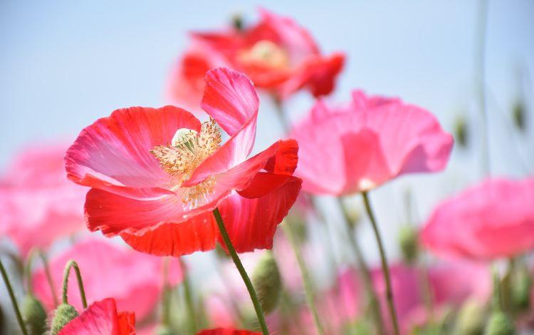 цветы, бутоны, лепестки, маки, стебли, flowers, buds, petals, maki, stems