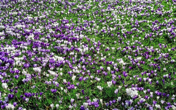 цветы, трава, поляна, весна, крокусы, flowers, grass, glade, spring, crocuses