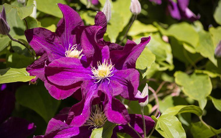 цветы, цветение, листья, цветок, лепестки, фиолетовый, клематис, flowers, flowering, leaves, flower, petals, purple, clematis