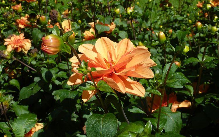 природа, бутоны, листья, лепестки, сад, оранжевые, георгины, nature, buds, leaves, petals, garden, orange, dahlias