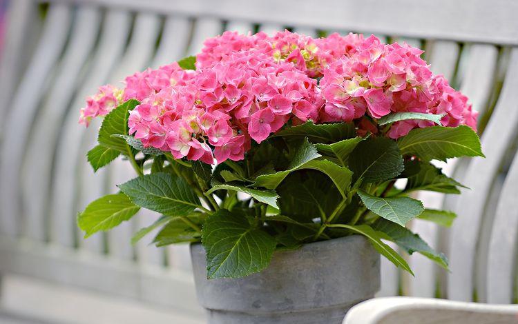 листья, цветок, лепестки, растение, соцветия, гортензия, leaves, flower, petals, plant, inflorescence, hydrangea