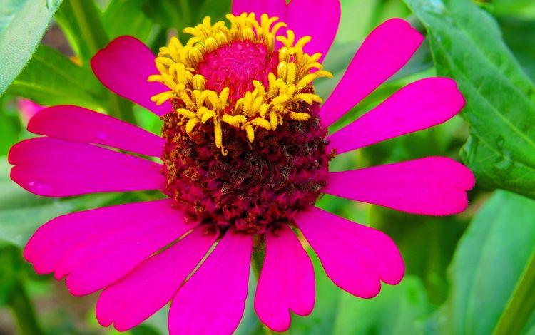 природа, листья, макро, цветок, лепестки, циния, nature, leaves, macro, flower, petals, tsiniya