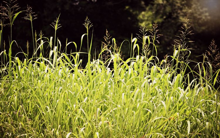 трава, природа, поле, лето, луг, растение, лужайка, grass, nature, field, summer, meadow, plant, lawn