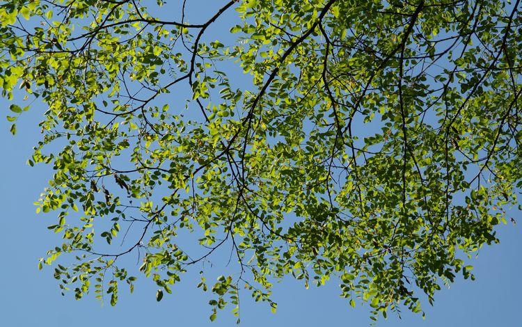 небо, природа, дерево, листья, ветки, лето, the sky, nature, tree, leaves, branches, summer