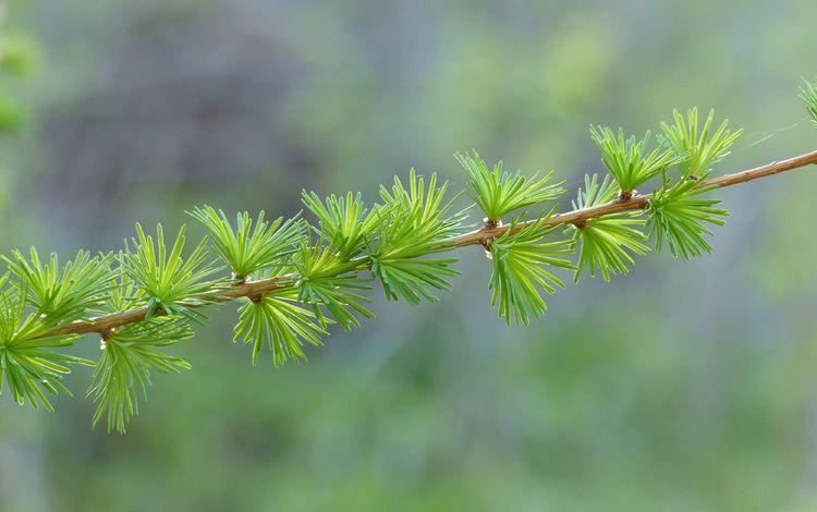 природа, хвоя, размытость, веточка, боке, лиственница, nature, needles, blur, sprig, bokeh, larch