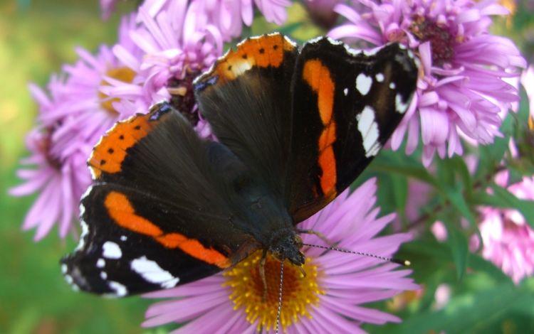 цветы, насекомое, лепестки, бабочка, крылья, адмирал, flowers, insect, petals, butterfly, wings, admiral