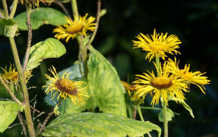 цветы, листья, черный фон, стебли, растение, девясил, flowers, leaves, black background, stems, plant, nard
