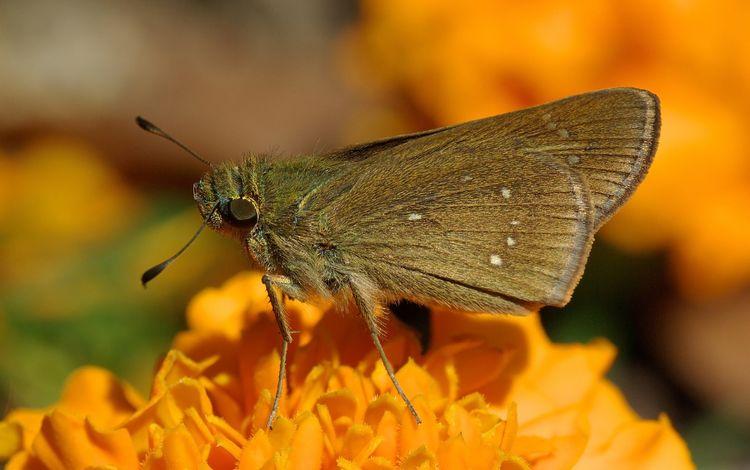 насекомое, цветок, бабочка, крылья, моль, insect, flower, butterfly, wings, mol