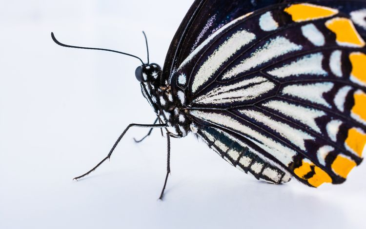 бабочка, крылья, насекомые, белый фон, монарх, butterfly, wings, insects, white background, monarch