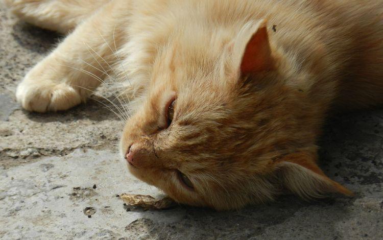 кот, мордочка, кошка, лежит, рыжий, лапки, cat, muzzle, lies, red, legs