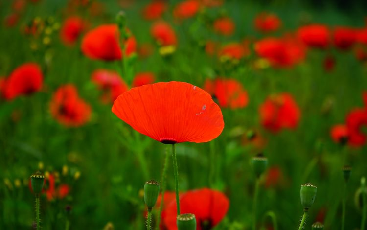 цветы, бутоны, лепестки, красные, маки, размытость, мак, стебли, flowers, buds, petals, red, maki, blur, mac, stems