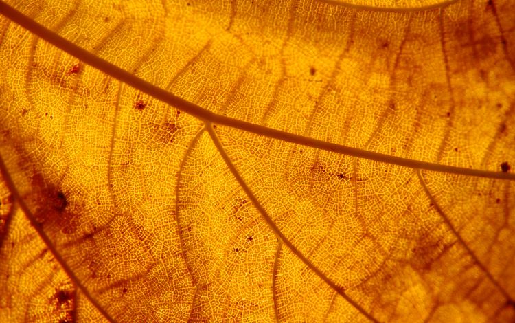 природа, осень, лист, прожилки, структура, nature, autumn, sheet, veins, structure