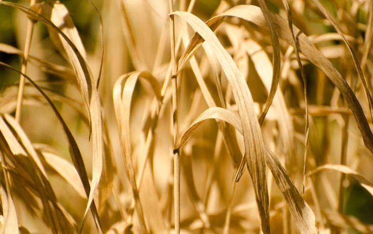 трава, природа, растения, стебли, сухие, овес, grass, nature, plants, stems, dry, oats