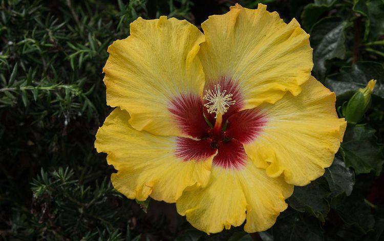 цветы, желтый, листья, макро, фон, лепестки, черный фон, гибискус, flowers, yellow, leaves, macro, background, petals, black background, hibiscus