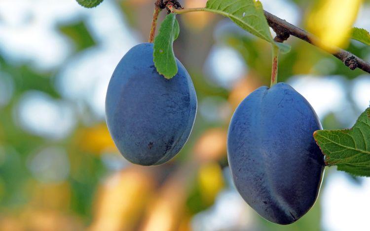 природа, фрукты, плоды, боке, слива, чернослив, nature, fruit, bokeh, drain, prunes